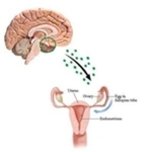 Découverte de la cause génétique de jumeaux fraternels et lien avec la fertilité